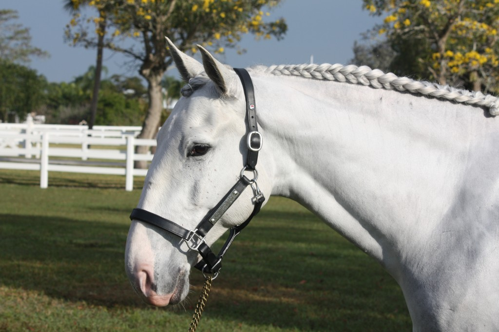 Balder sporting his prize, a beautifully engraved halter from Interagro Lusitanos. (Photo courtesy of JRPR)