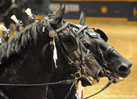 Photo 23 - Photo 4 – The trusty lead horses, Tory and Queen, of the champion All Star Percheron hitch at the 2015 Royal Winter Fair in TorontoPhoto by Kim MacMillan/MacMillan Photography