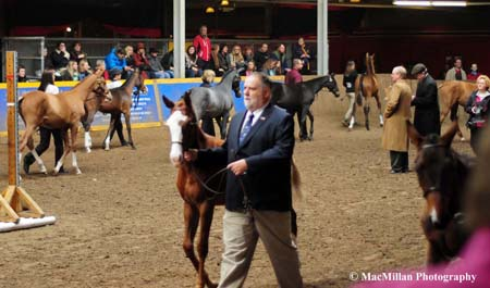 Photo 27 – Nineteen weanlings competed in the $5,000 Canadian Sport Horse President's Cup - Colt, Gelding or Filly 2015 class in the Horse Palace ring on the final Saturday of the 2015 Royal Horse Show. The winner was BF Lennyx owned and shown by Garry Roque. Photo by Kim MacMillan/MacMillan Photography
