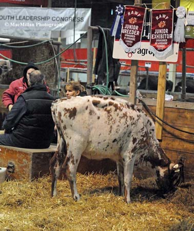 Photo 41 – A young Ayrshire heifer in the barn at the 2015 Royal Winter Fair. Four Canadian national dairy shows are part of the action during the second half of the Royal Agricultural Winter Fair in Toronto, Canada: the National Ayrshire Show, the National Black and White Holstein Show, the National Red and White Holstein Show and the National Jersey Show as well as a youth show. The first part of the Royal featured a beef cattle show with classes for Angus, Charolais, Hereford, Shorthorn, Limousin and Simmental breeding and market animals and a young exhibitor beef show.Photo by Sarah Miller/MacMillan Photography