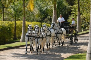 Interagro's rolling hills and miles of pristine Brazilian countryside dotted by Lusitanos are paradise for equestrians of all disciplines, but for driving enthusiasts, Interagro now offers the draw of world class training along with an unparalleled venue and talented Lusitanos.  (Photo courtesy of Interagro Lusitanos)