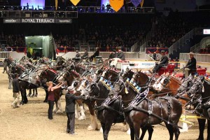 A ring jammed full of massive draft horses and amazing wagons in the All-Breeds Four- Horse Registered Mares draft horse hitch class.  The class started with two groups being judged separately; then the ringmaster brought in all 11 teams back in at one time to line up.  The awesome sight of 44 horses and 11 wagons in the ring was impressive. The winner was Blue Ribbon Days  Farm with driver Cody Woodbury, owned by the Albert Cleve and Jim Day Families. The team is from Winchester, Indiana, U.S.A.Photo by Shelley Higgins/MacMillan Photography