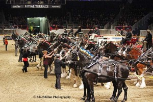 11-The ground shakes as the draft horse hitches take center stage. Here 11 four-horse hitches were lined up in the arena all at one time; that's a huge amount of horse power!