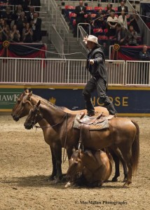 "16-The featured equestrian entertainer at the Royal Winter Fair in 2014 was Australian ""Bush Poet"" Guy McLean and his four  home-bred red dun Australian Stock Horses.  For his signature finale three horses stand over one horse laying down as guy wails his bullwhips."