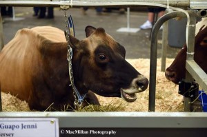20-This Jersey dairy cow tethered in the Royal barn area appears to be telling onlookers all about her show career.