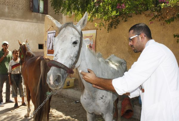 Brooke veterinarian treats a malnourished horse who works in tourism in the Middle East www.BrookeUSA.org (Photo courtesy of Brooke USA)