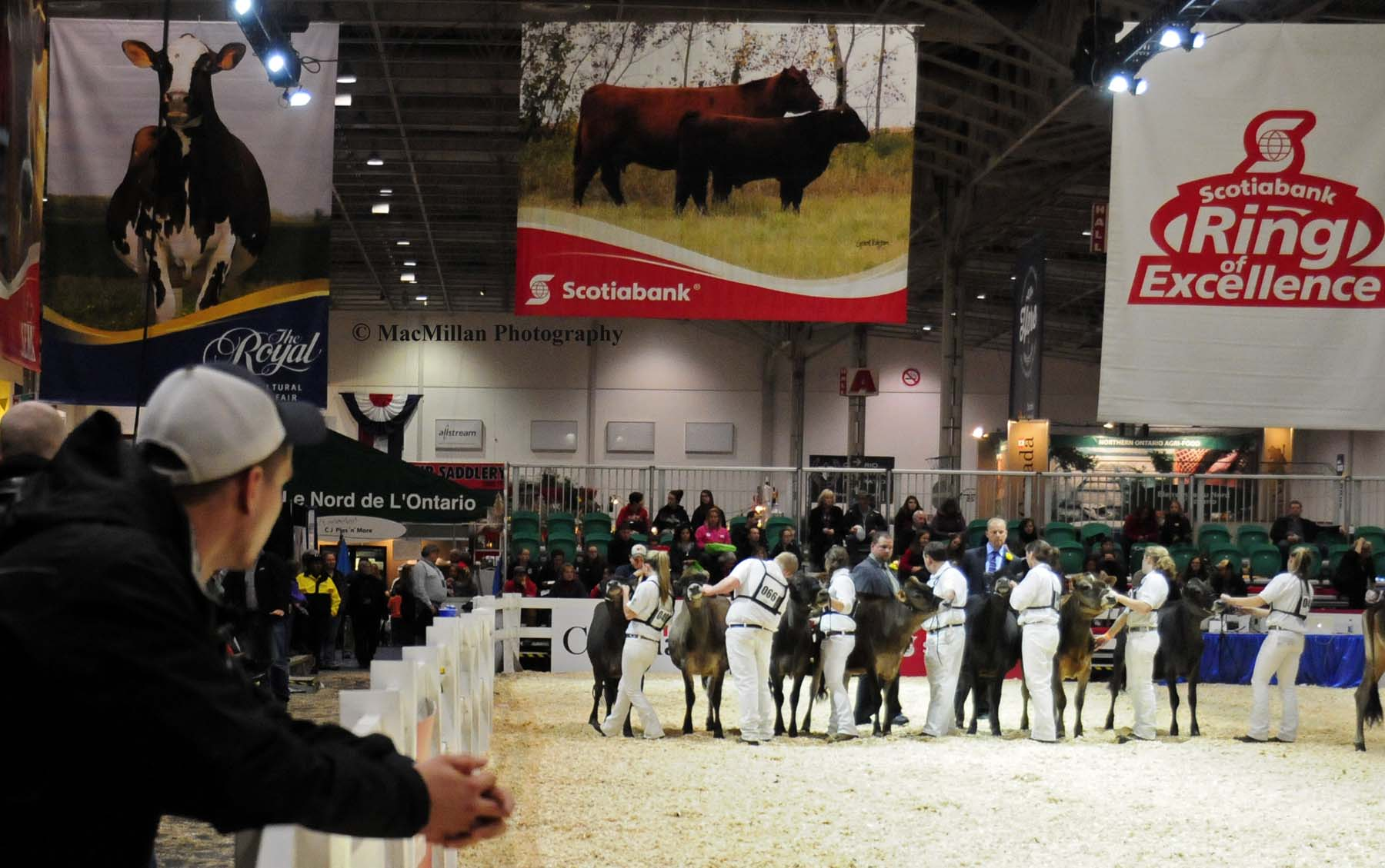 Photo 45 – Contestants in the Canadian National Jersey Cattle Show at the 2015 Royal Winter FairPhoto by Shelley Higgins/MacMillan Photography