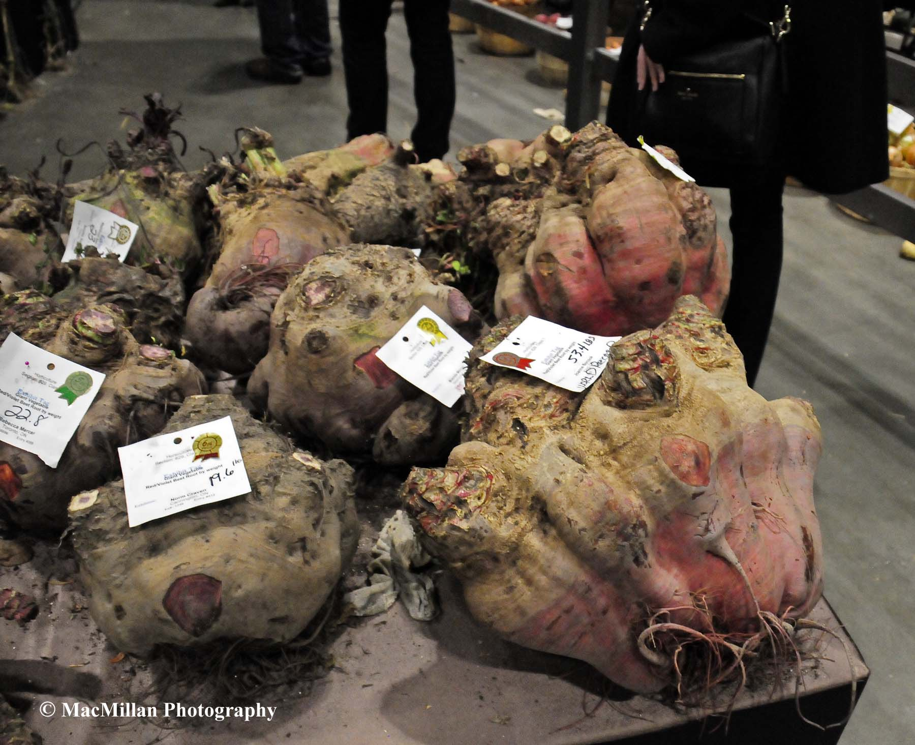 Photo 46 – The Royal Vegetable Show had classes for the largest vegetables. The rutabaga in the foreground entered by Chris Lyons was the Royal champion and a world record at 53.4 pounds. Photo by Sarah Miller/MacMillan Photography