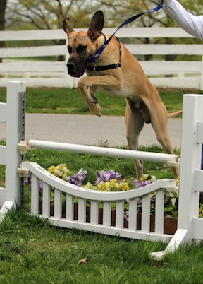 Horse people love to jump their dogs and Ben shows off his form over fences.