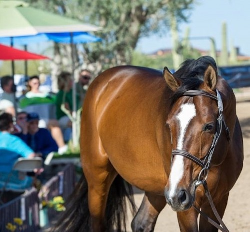 A gorgeous stallion takes part in the SVS Sales Preview in Scottsdale, Arizona. Photo by Larry Hischer