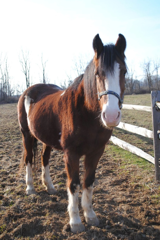 Lady was rescued in August 2014 from New Holland auction. She is a 29-year-old Clydesdale/Hackney cross. She was a show horse for 24 years, showing at Devon, Radnor Hunt, Ludwigs and many other places. She was used for competitive driving. She was sent to New Holland after she was no longer useable. She was rescued with intentions of finding her a forever retirement home but sadly she was recently diagnosed with a tumor in his nasal cavity so she will remain at Charming Acres Rescue for as long as she is happy. (Photo courtesy of Charming Acres Rescue)