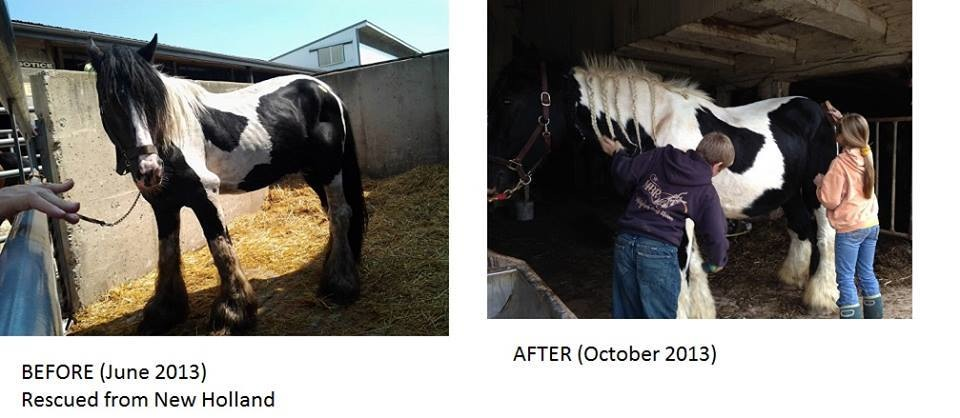 Wizard was found at New Holland in June 2013 in horrible condition. He was rehabbed and has found a wonderful home where he is doing great and loving life! (Photo courtesy of Charming Acres Rescue)