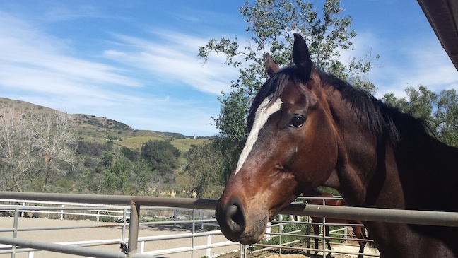 Many California horses' stalls are actually large pipe corrals, like Knight's new home. (Photo courtesy of Susan Friedland-Smith)