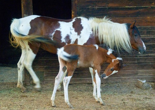 Glory with her foal Tigger Photo by Vicki Christensen