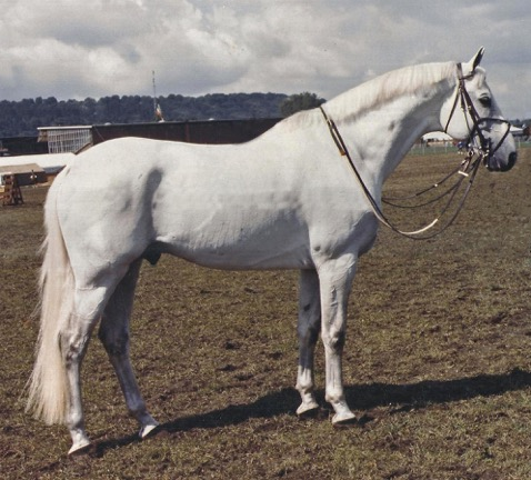 Sue Williams' favorite conformation shot of Abdullah taken when he was 17 years old while at a show in Aachen, Germany. Photo by Werner Ernst
