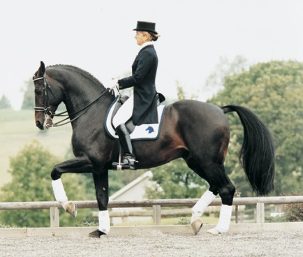 Contango, Preferent, was ranked number two sire of dressage horses by the United States Equestrian Federation at press time.  Photo by Terri Miller