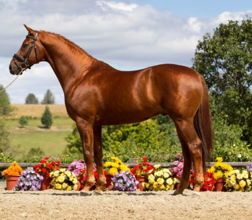 UB40 is one of the most popular KWPN stallions in North America. His oldest offspring are winning Grand Prix in Europe.  Photo by Terri Miller