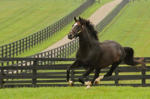 Tiznow, who lives at WinStar Farm in Kentucky, won the Breeders' Cup Classic in 2000 and 2001. Photo by Lee Thomas